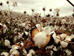 Cotton: The Dirtiest Crop in the World