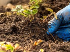 Keeping Soil Healthy in California