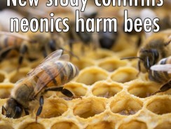 Study Confirms Neonics Harm Bees
